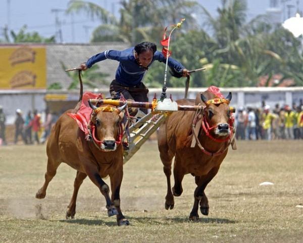 bull races